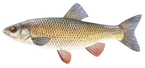 Home pesci fiume adda brivio for Pesci di fiume