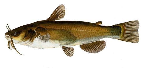 Home pesci fiume adda brivio for Trota da colorare